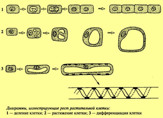 Особенности строения и основные органеллы растительных клеток